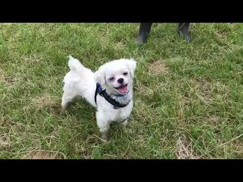 保護犬ポンポン(マルチーズ) 里親さん募集開始致します!